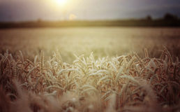 Close up of ripe wheat ears Royalty Free Stock Photography