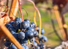 Close-up ripe wild grapes in late autumn stock image