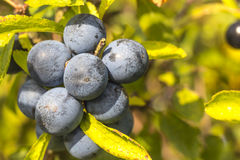 Close up of ripe wild sloes in an English hedgerow Stock Photos
