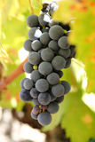 Close-up of ripe wine grapes. Wine & food Stock Images