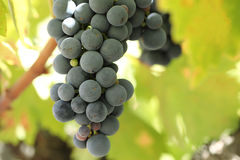 Close-up of ripe wine grapes. Wine & food Stock Photo