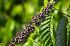 Close up ripen coffee Royalty Free Stock Photography