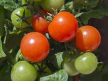 Close up ripen and green cherry tomatoes on branch Royalty Free Stock Photos