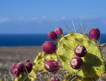 Close up ripen red Indian fig opuntia tropic cactus fruit on pla. Nt prickly pear with sea shore and blue sky background Royalty Free Stock Photography