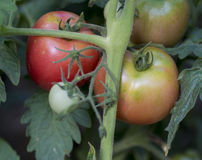 Close up ripen tomatoes on the branch Royalty Free Stock Images