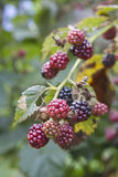 Close Up of Ripening Blackberries Stock Photography