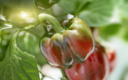 Close Up of Ripening Paprika Pepper on Plant Stock Images
