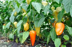 Close-up of ripening peppers in the vegetable garden stock images