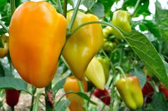 Close-up of ripening peppers in the vegetable garden royalty free stock photos