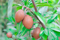 Close up of Ripening Sapodilla fruits on tree, in an organic gar Royalty Free Stock Images