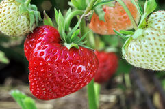 Close-up of ripening strawberry Royalty Free Stock Image