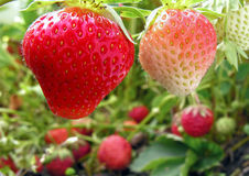 Close-up of ripening strawberry Stock Photography