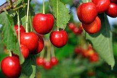 Close-up of ripening sweet cherries stock photo