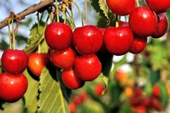 Close-up of ripening sweet cherries stock images