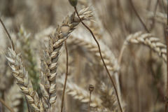 Close up of ripening yellow wheat ears on field at summer time. Detail of golden wheats Triticum spikelets. Rich harvest.  Royalty Free Stock Photo