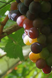 Close up of a riping bunch of dutch grapes Stock Photos