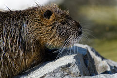 Close up of a river rat, Nutria (Myocastor coypus) sitting on stone in the sun.  royalty free stock image