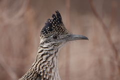 Close up of a road runner. A close up of a road runner with a blurred background Stock Images