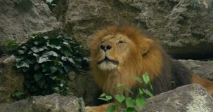Close up of a roaring lion. A close up of a roaring lion stock video footage