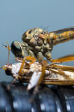 Close up of a robber fly Stock Image