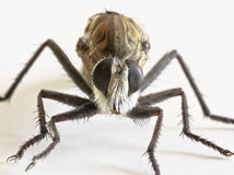A Close Up of a Robber Fly Stock Photos