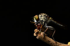 Close up Robberfly (Asilidae) Royalty Free Stock Photography