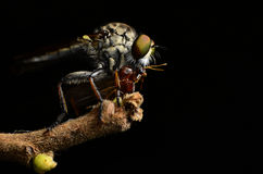 Close up Robberfly (Asilidae) Royalty Free Stock Photo