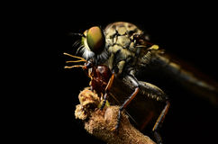 Close up Robberfly (Asilidae) Stock Photo