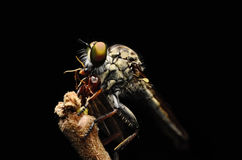 Close up Robberfly (Asilidae) Royalty Free Stock Images