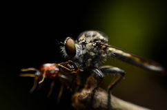 Close up Robberfly (Asilidae) eating prey Royalty Free Stock Photo