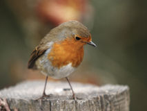 Close-up of a Robin erithacus rubecula Stock Photography