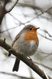Close-up of a Robin, erithacus rubecula,. Perched on a branch Royalty Free Stock Image