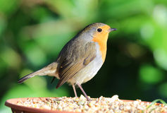 Close up of a Robin Royalty Free Stock Photo