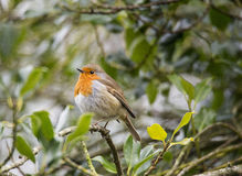 Close up of Robin perched on holly bush Royalty Free Stock Photo