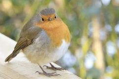 Close-up of robin showing its distinctive reddish-orange breast. stock photos