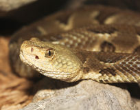 A Close Up of a Rock Rattlesnake, Crotalus lepidus Stock Photo