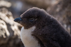 Close-up of rockhopper penguin chick in shade Stock Photography