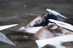 Close up on rocks surrounded by frozen ice plaques in winter season lake Royalty Free Stock Photo