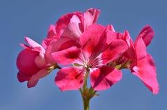 Close-up rode geranium Royalty-vrije Stock Afbeelding