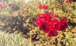 Close-up Rode Rozen op een zonnige dag in openlucht stock fotografie