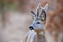 Close-up of roe deer buck with growing antlers covered in velvet. Close-up of roe deer, capreolus capreolus, buck with growing antlers covered in velvet looking stock images