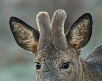 A close up of a roe deer, Capreolus capreolus buck with growing velvet antlers. A close up of a roe deer, Capreolus capreolus buck with growing 6 weeks old stock photos