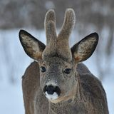 A close up of a roe deer, Capreolus capreolus buck with growing velvet antlers. A close up of a roe deer, Capreolus capreolus buck with growing eight weeks old stock image