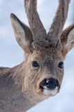 Close-up of Roe deer Stock Photography