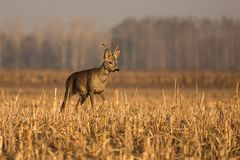 Close up Roe deer. Deer in the field, autumn sunrise in nature, animal in its natural environment, europe, hungary Royalty Free Stock Photos