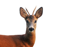 Close up of roe deer, isolated on white Royalty Free Stock Photography