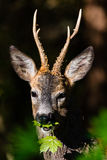 Close up roedeer i a forest. Close up roedeer i a green forest Royalty Free Stock Images