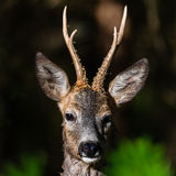 Close up roedeer i a forest. Close up roedeer i a green forest Royalty Free Stock Photo