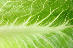 Close up of romaine lettuce Stock Photo