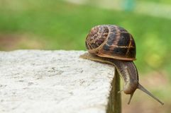 Roman snail balancing on the edge of stone block. Close-up of roman snail on a surface of stone block with green background royalty free stock photo